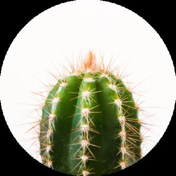 kaktus dietetyczny